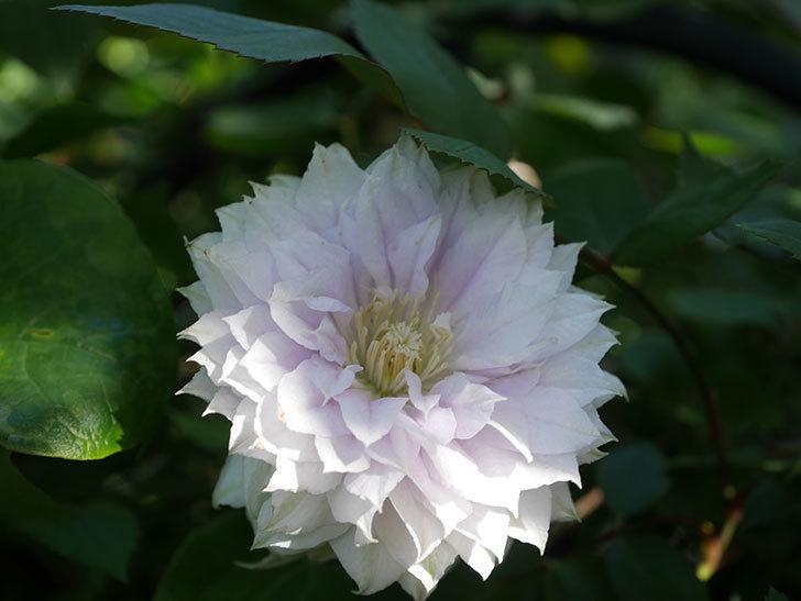 ベル・オブ・ウォーキング(早咲き大輪系 パテンス系 旧枝咲)の花が咲いた。2021年-023.jpg