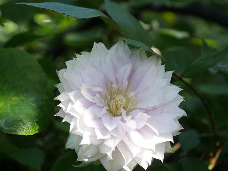 ベル・オブ・ウォーキング(早咲き大輪系 パテンス系 旧枝咲)の花が咲いた。2021年-024.jpg