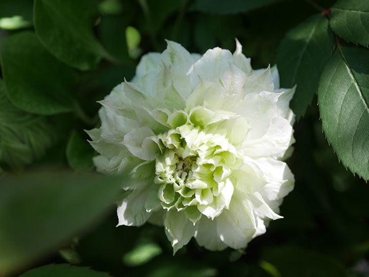 ベル・オブ・ウォーキング(早咲き大輪系 パテンス系 旧枝咲)の花が咲いた。2021年-025.jpg
