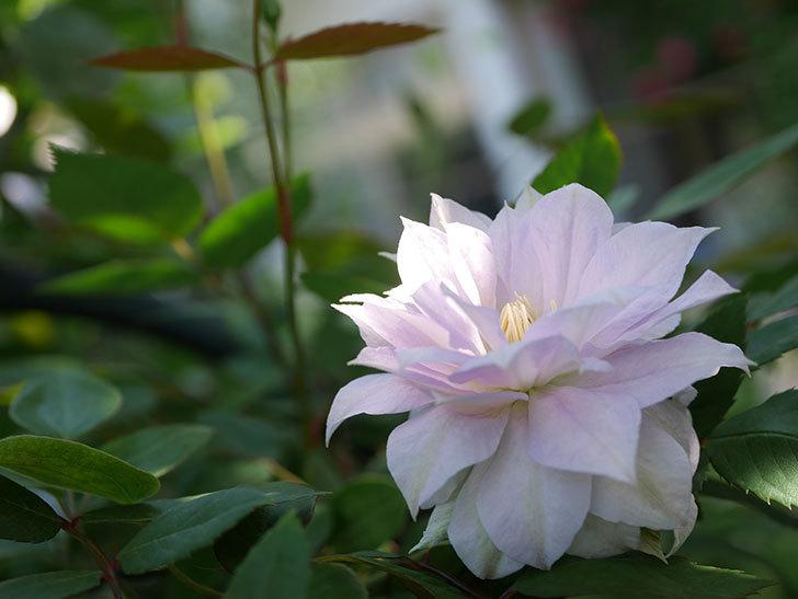 ベル・オブ・ウォーキング(早咲き大輪系 パテンス系 旧枝咲)の花が咲いた。2021年-026.jpg