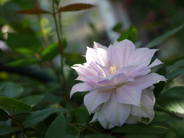 ベル・オブ・ウォーキング(早咲き大輪系 パテンス系 旧枝咲)の花が咲いた。2021年-027.jpg