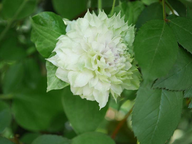 ベル・オブ・ウォーキング(早咲き大輪系 パテンス系 旧枝咲)の花が咲いた。2021年-028.jpg