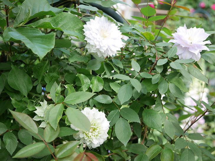 ベル・オブ・ウォーキング(早咲き大輪系 パテンス系 旧枝咲)の花が咲いた。2021年-030.jpg