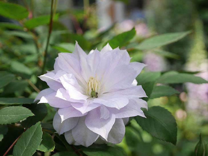 ベル・オブ・ウォーキング(早咲き大輪系 パテンス系 旧枝咲)の花が咲いた。2021年-031.jpg