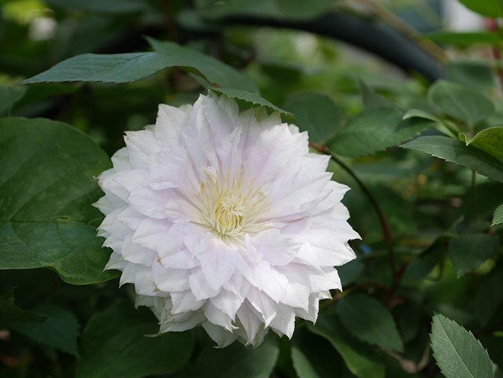 ベル・オブ・ウォーキング(早咲き大輪系 パテンス系 旧枝咲)の花が咲いた。2021年-035.jpg