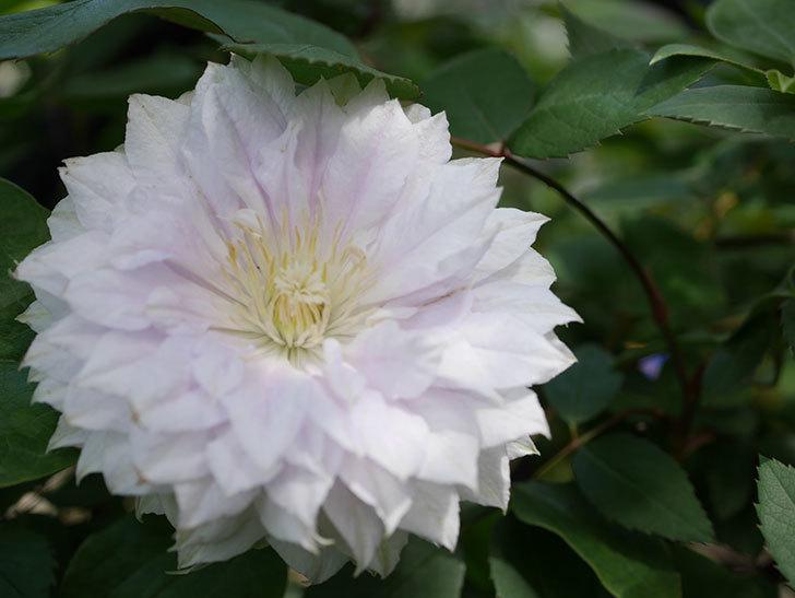 ベル・オブ・ウォーキング(早咲き大輪系 パテンス系 旧枝咲)の花が咲いた。2021年-036.jpg