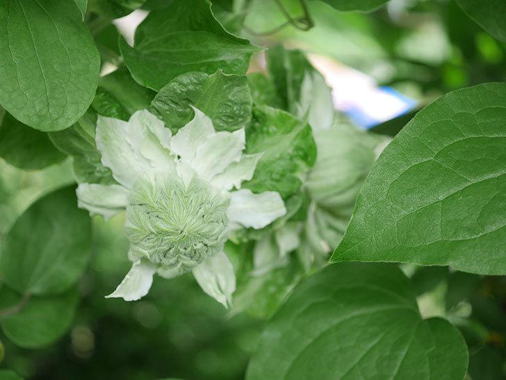 ベル・オブ・ウォーキング(早咲き大輪系 パテンス系 旧枝咲)の花が咲いた。2021年-040.jpg
