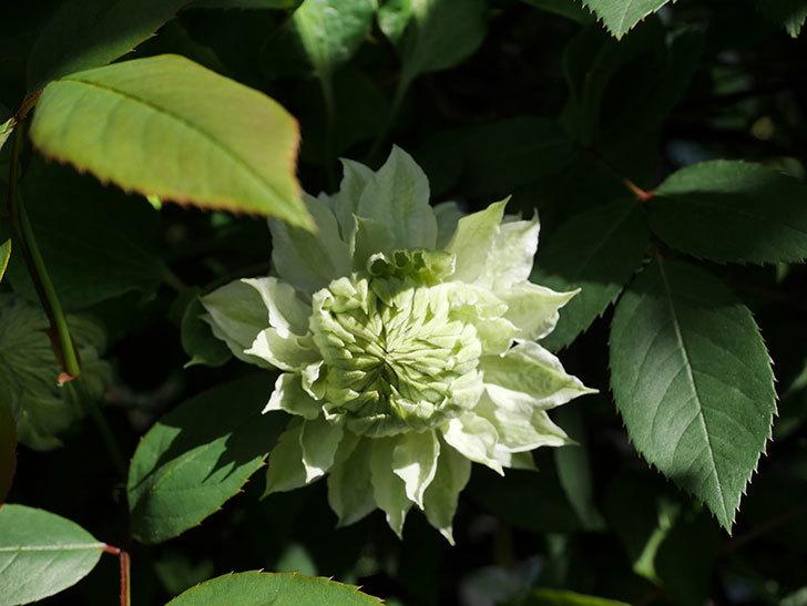 ベル・オブ・ウォーキング(早咲き大輪系 パテンス系 旧枝咲)の花が少し咲いた。2021年-002.jpg