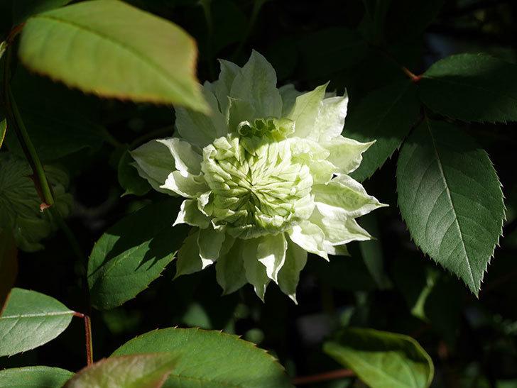 ベル・オブ・ウォーキング(早咲き大輪系 パテンス系 旧枝咲)の花が少し咲いた。2021年-003.jpg