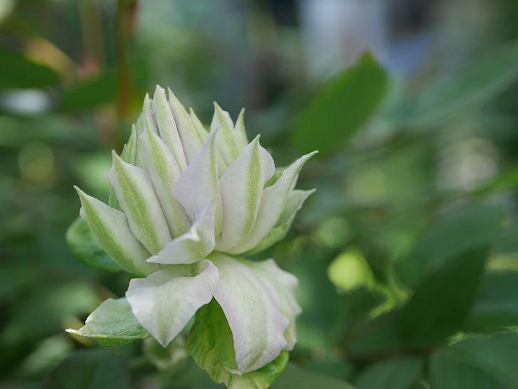 ベル・オブ・ウォーキング(早咲き大輪系 パテンス系 旧枝咲)の花が少し咲いた。2021年-008.jpg