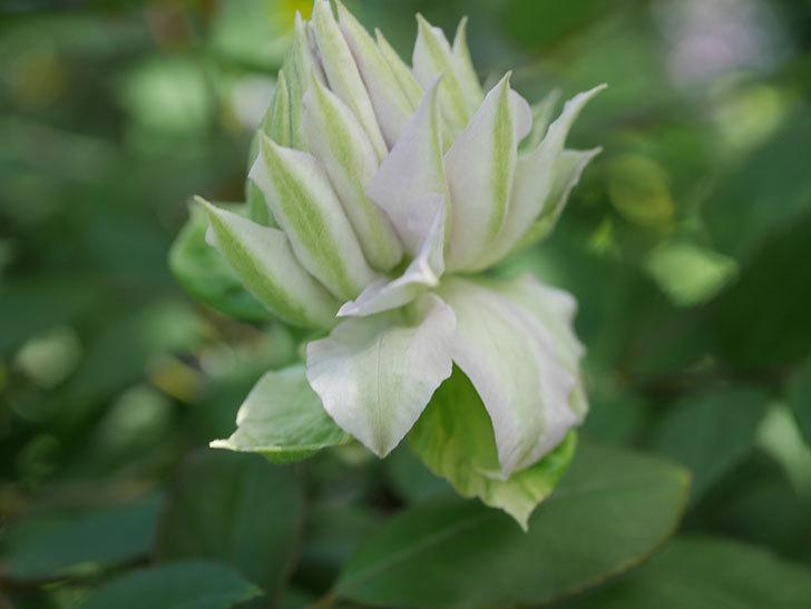 ベル・オブ・ウォーキング(早咲き大輪系 パテンス系 旧枝咲)の花が少し咲いた。2021年-009.jpg