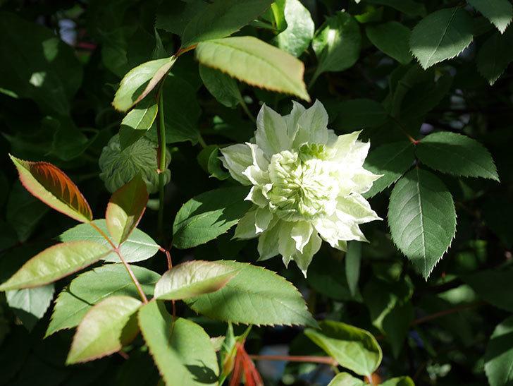 ベル・オブ・ウォーキング(早咲き大輪系 パテンス系 旧枝咲)の花が少し咲いた。2021年-013.jpg