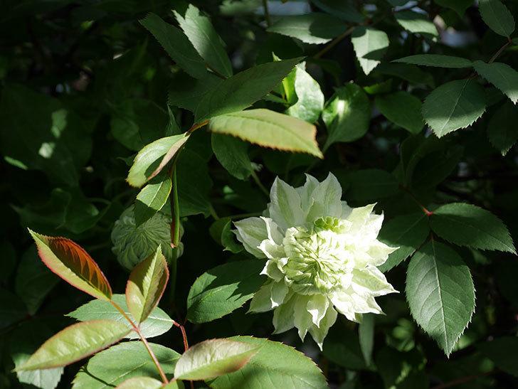 ベル・オブ・ウォーキング(早咲き大輪系 パテンス系 旧枝咲)の花が少し咲いた。2021年-014.jpg