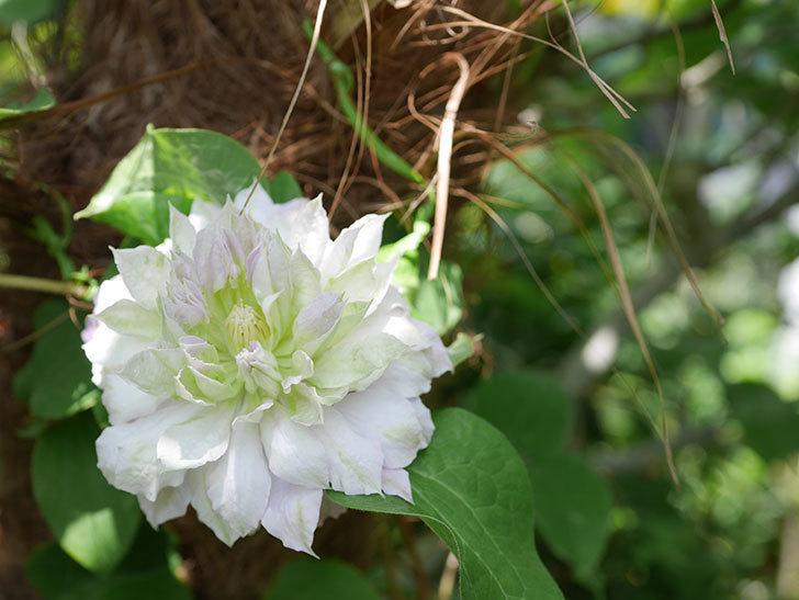 ベル・オブ・ウォーキングの花が咲いた。2019年-5.jpg