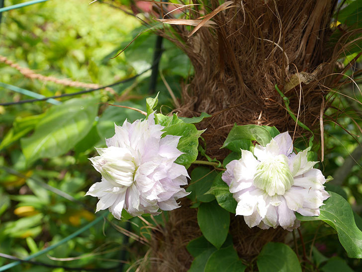 ベル・オブ・ウォーキングの花が少し咲いた。2019年-3.jpg