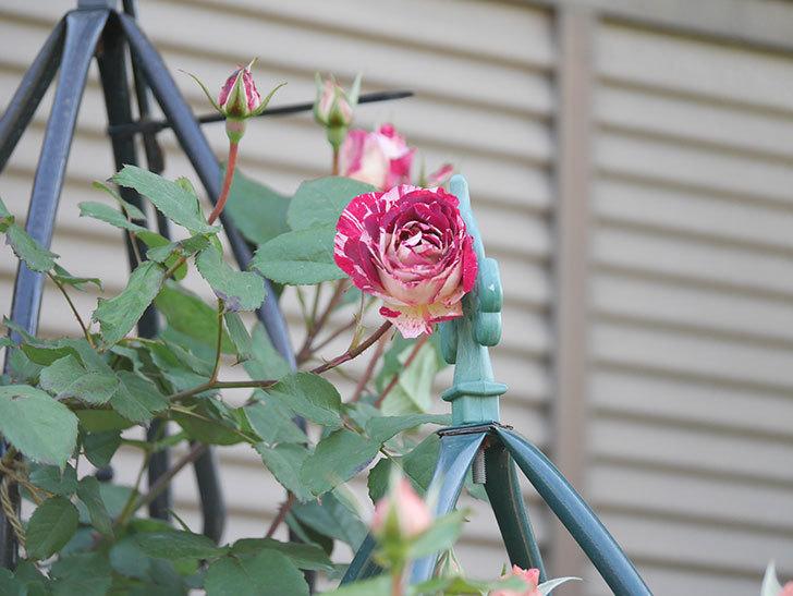 ベル・デ・セゴサ(Belle de Segosa)の花が咲いた。半ツルバラ。2021年-001.jpg