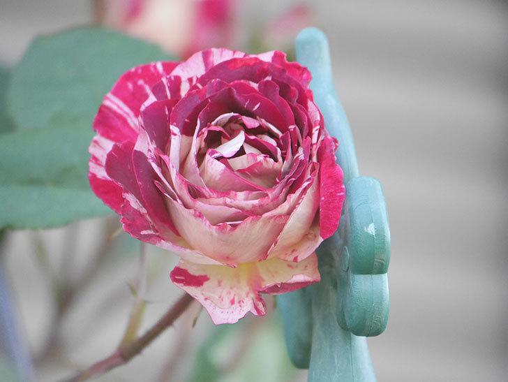 ベル・デ・セゴサ(Belle de Segosa)の花が咲いた。半ツルバラ。2021年-002.jpg