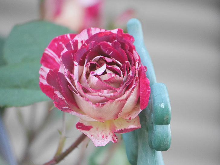ベル・デ・セゴサ(Belle de Segosa)の花が咲いた。半ツルバラ。2021年-003.jpg