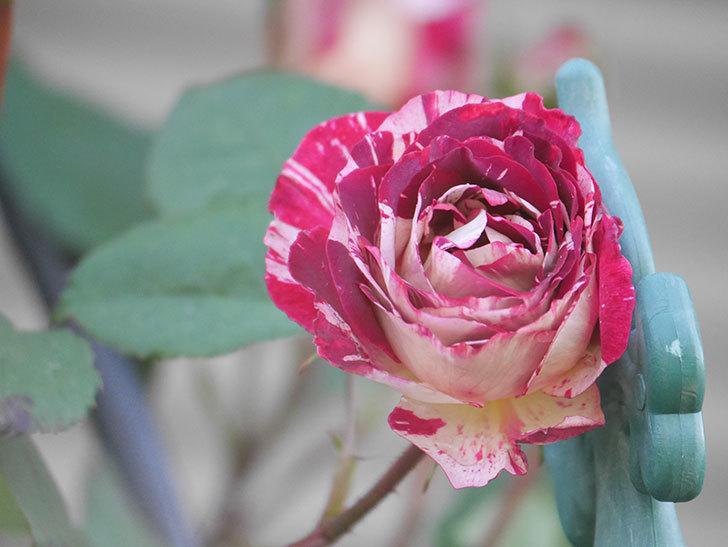 ベル・デ・セゴサ(Belle de Segosa)の花が咲いた。半ツルバラ。2021年-004.jpg