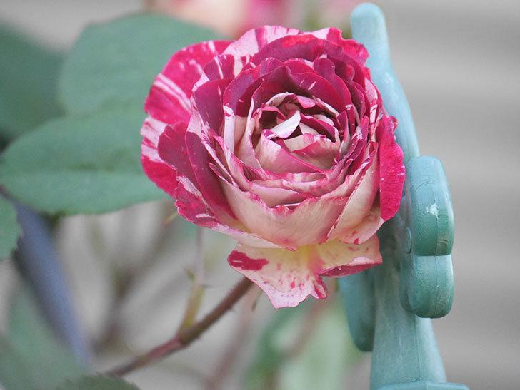 ベル・デ・セゴサ(Belle de Segosa)の花が咲いた。半ツルバラ。2021年-005.jpg