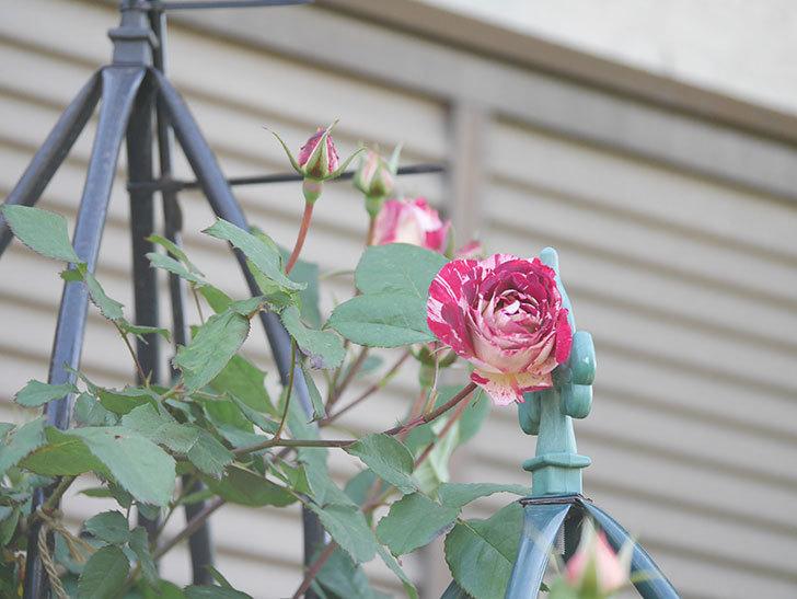 ベル・デ・セゴサ(Belle de Segosa)の花が咲いた。半ツルバラ。2021年-006.jpg