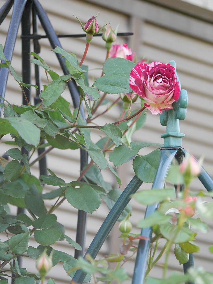 ベル・デ・セゴサ(Belle de Segosa)の花が咲いた。半ツルバラ。2021年-007.jpg