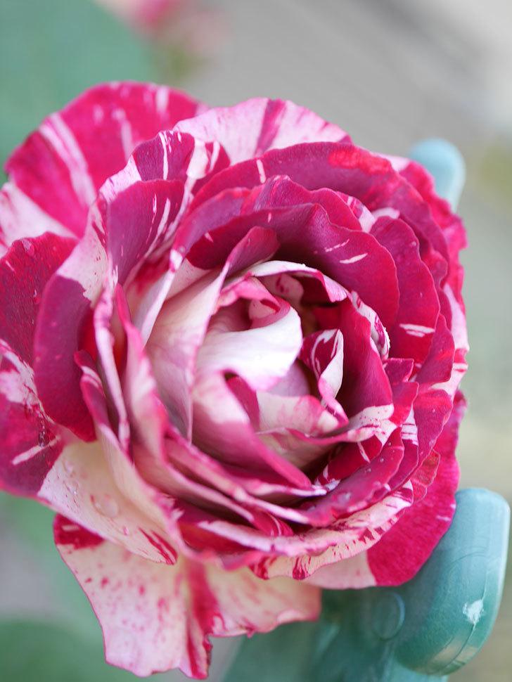 ベル・デ・セゴサ(Belle de Segosa)の花が咲いた。半ツルバラ。2021年-008.jpg