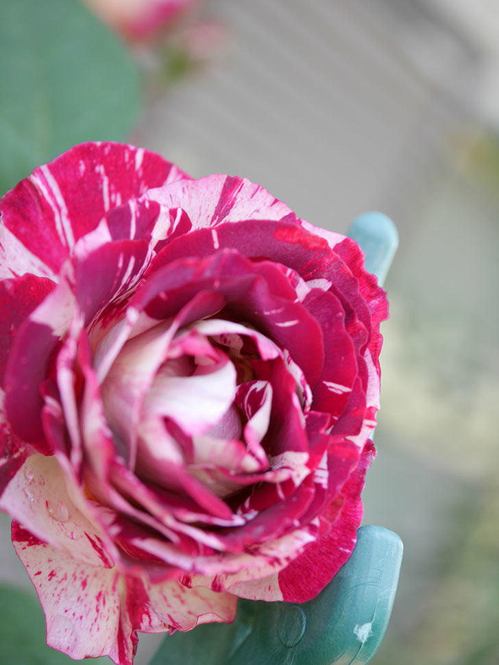 ベル・デ・セゴサ(Belle de Segosa)の花が咲いた。半ツルバラ。2021年-009.jpg