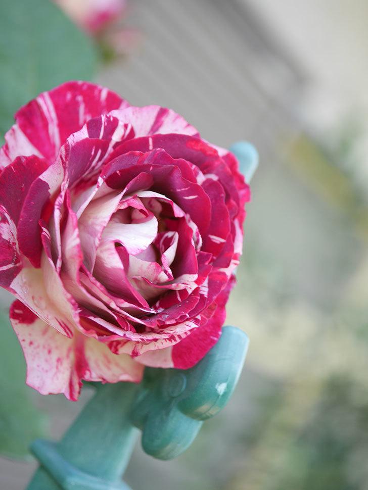 ベル・デ・セゴサ(Belle de Segosa)の花が咲いた。半ツルバラ。2021年-010.jpg