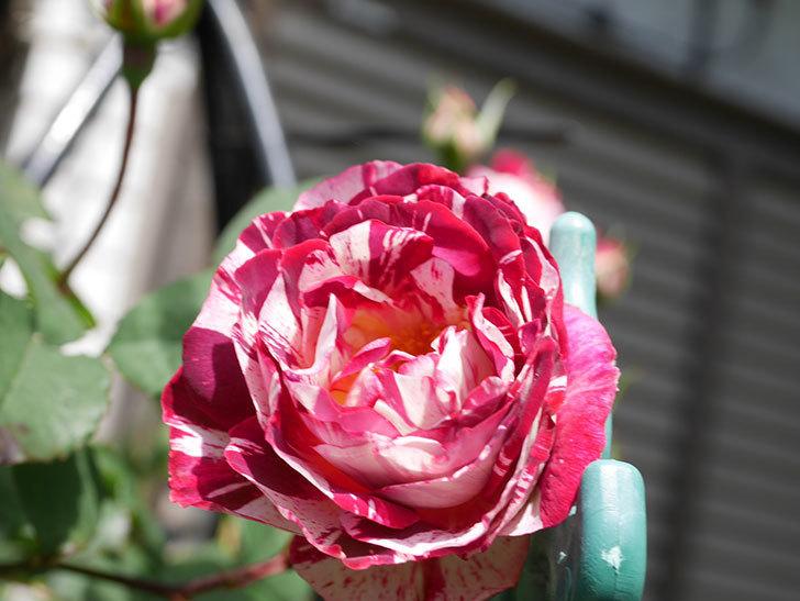 ベル・デ・セゴサ(Belle de Segosa)の花が咲いた。半ツルバラ。2021年-011.jpg