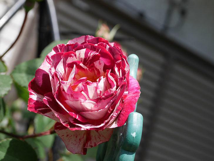 ベル・デ・セゴサ(Belle de Segosa)の花が咲いた。半ツルバラ。2021年-012.jpg