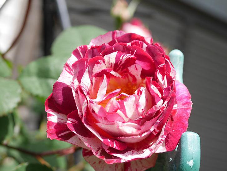 ベル・デ・セゴサ(Belle de Segosa)の花が咲いた。半ツルバラ。2021年-013.jpg