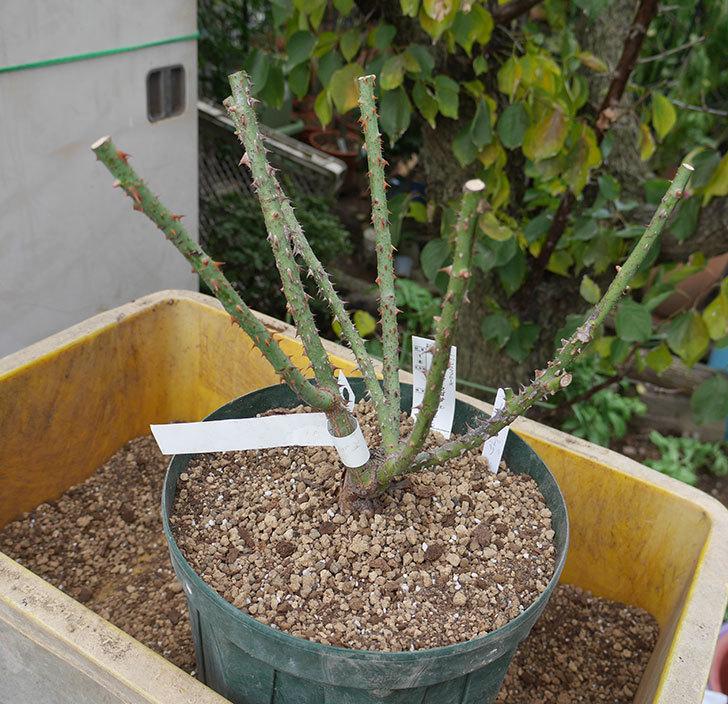 ベル・デ・セゴサ(半ツルバラ)の大苗を8号ロングスリット鉢に植えた。2019年-1.jpg