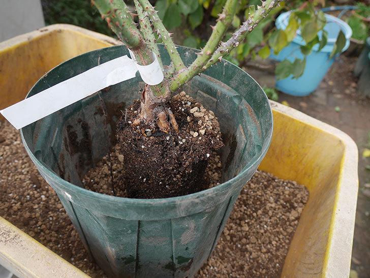 ベル・デ・セゴサ(半ツルバラ)の大苗を8号ロングスリット鉢に植えた。2019年-2.jpg