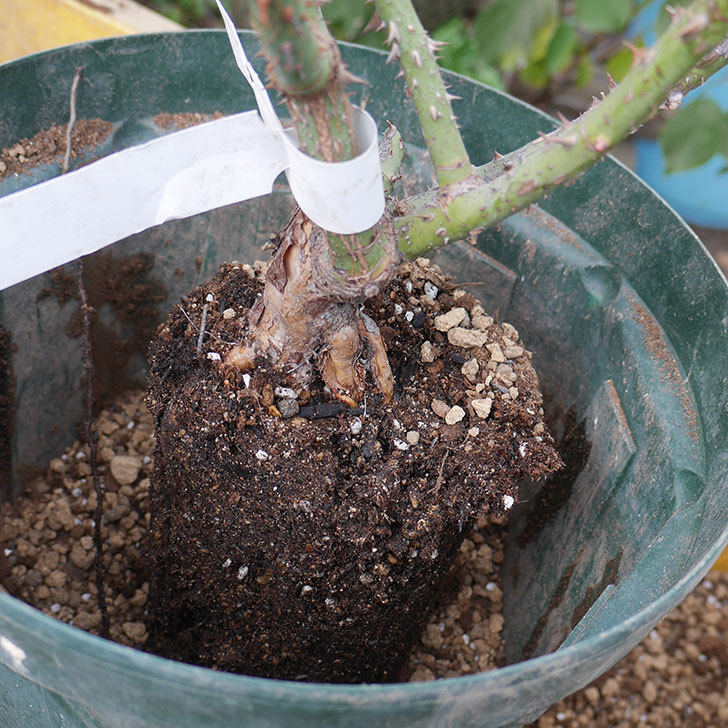 ベル・デ・セゴサ(半ツルバラ)の大苗を8号ロングスリット鉢に植えた。2019年-3.jpg