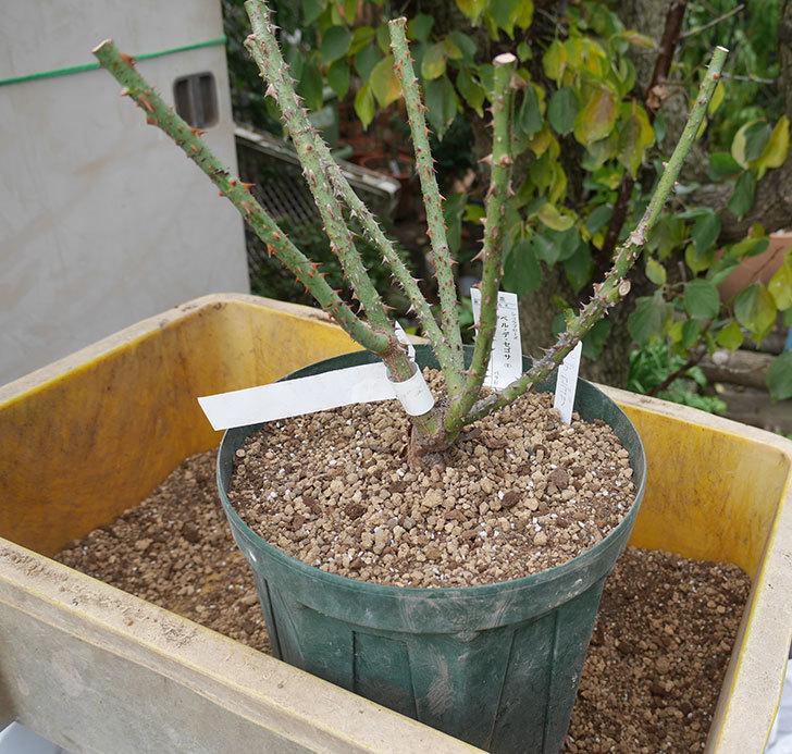 ベル・デ・セゴサ(半ツルバラ)の大苗を8号ロングスリット鉢に植えた。2019年-4.jpg