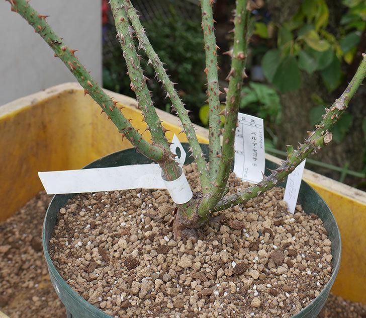 ベル・デ・セゴサ(半ツルバラ)の大苗を8号ロングスリット鉢に植えた。2019年-5.jpg