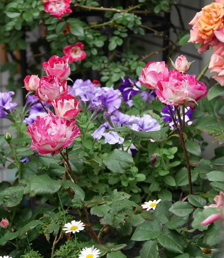 ベル・デ・セゴサ(半ツルバラ)の花がたくさん咲いた。2020年-10.jpg