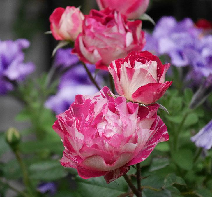 ベル・デ・セゴサ(半ツルバラ)の花がたくさん咲いた。2020年-11.jpg