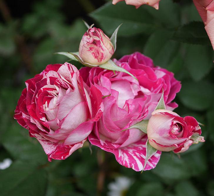 ベル・デ・セゴサ(半ツルバラ)の花がたくさん咲いた。2020年-4.jpg