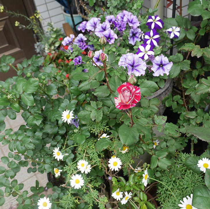 ベル・デ・セゴサ(半ツルバラ)の花が咲きだした。2020年-6.jpg
