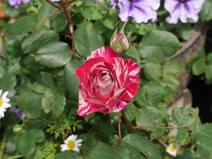 ベル・デ・セゴサ(半ツルバラ)の花が咲きだした。2020年-8.jpg