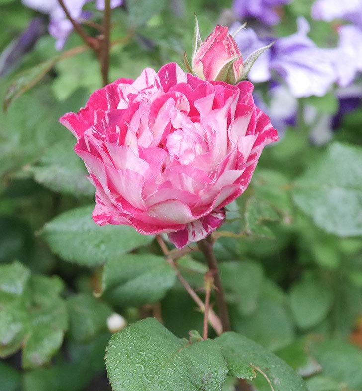 ベル・デ・セゴサ(半ツルバラ)の花が増えてきた。2020年-2.jpg