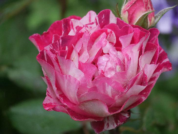 ベル・デ・セゴサ(半ツルバラ)の花が増えてきた。2020年-3.jpg