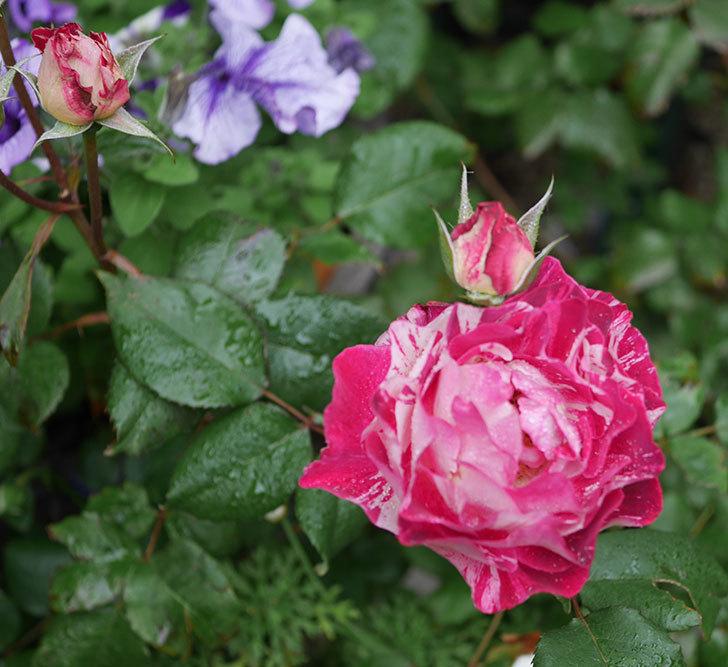 ベル・デ・セゴサ(半ツルバラ)の花が増えてきた。2020年-5.jpg