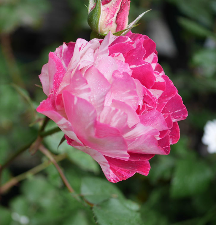 ベル・デ・セゴサ(半ツルバラ)の花が増えてきた。2020年-6.jpg