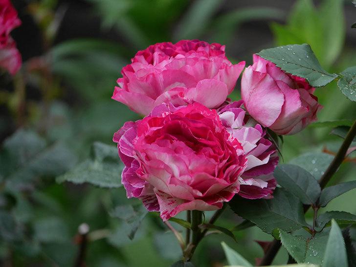 ベル・デ・セゴサ(半ツルバラ)の花が満開になった。2020年-10.jpg