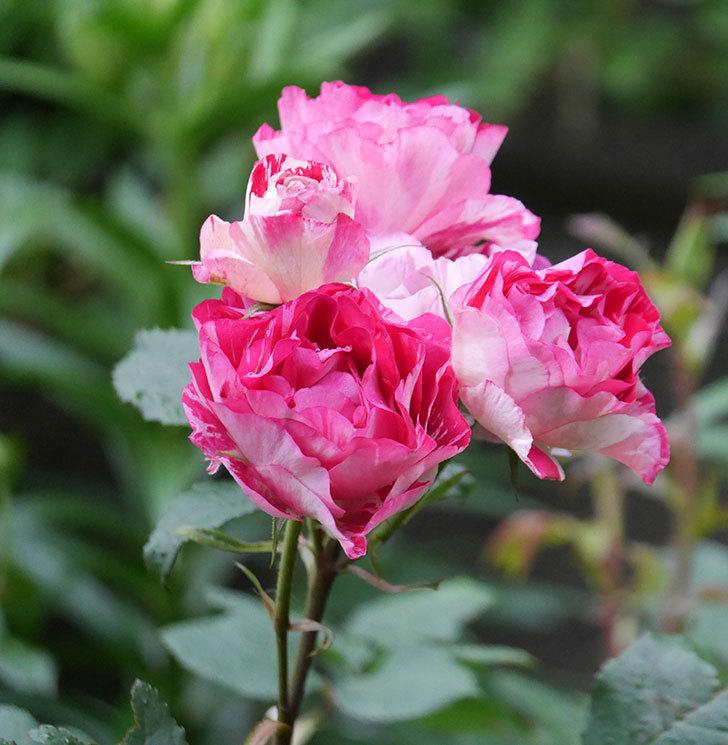 ベル・デ・セゴサ(半ツルバラ)の花が満開になった。2020年-11.jpg