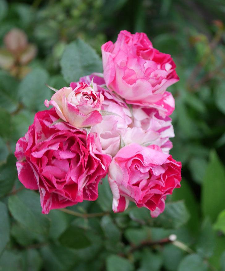 ベル・デ・セゴサ(半ツルバラ)の花が満開になった。2020年-4.jpg