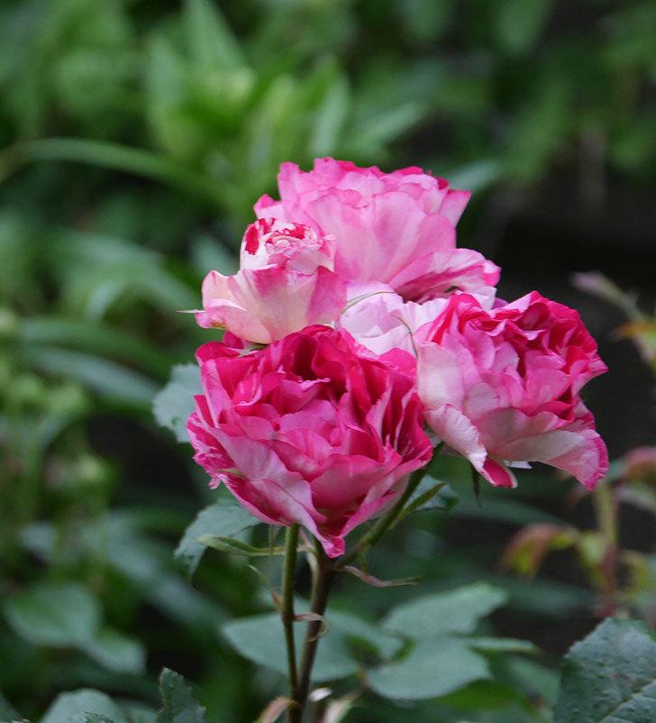 ベル・デ・セゴサ(半ツルバラ)の花が満開になった。2020年-7.jpg